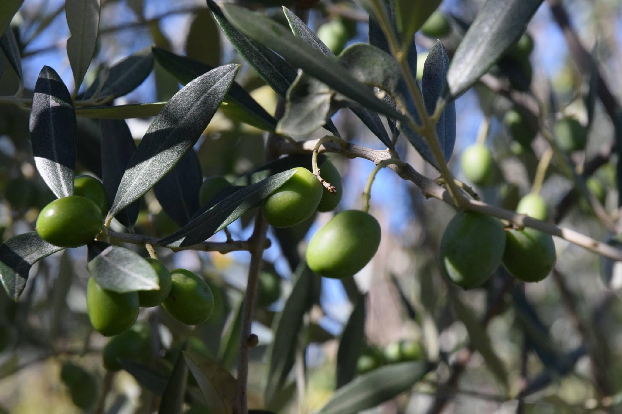 Olive Sordi Giuseppe